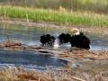 Eagle Pair - A Bath Splash 2017 05 10 IMG_9461