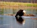 Bald Eagle Grooming In Columbia Lake Bath 2017 05 10 IMG_9472