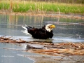 Bald Eagle Bath and Water Flying 2017 05 10 IMG_9474