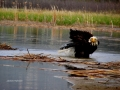 Eagle Baths In Columbia Lake Wetlands 2017 05 10 IMG_9475