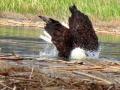 Eagle Bath - Taking A Plunge 2017 05 10 IMG_9439