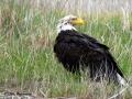 Bald Eagle After Bath 2017 05 10 IMG_9483