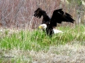 Eagle Flaps Wet Wings to Dry After Columbia Lake Bath 2017 05 10 IMG_9485