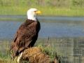 Bald Eagle Beauty On Shore - NW Columbia Lake 2016 June IMG_7804