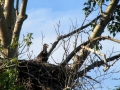 Bald Eaglet at One Month 2016 06 06 IMG_7936