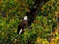 Bald Eagle Fall 2015 10 01 IMG_7042