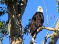 Bald Eagle - In Eagle Tree 2015 10 02 IMG_7097