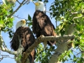 Bald Eagle Pair, 2014 06 22, IMG_1029