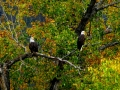 Bald Eagle Pair - Columbia Lake Provincial Park Shores - 2015 10 01 IMG_7037