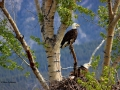 Bald Eagle Pair Guard Nest 2016 04 21 IMG_6872