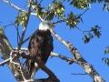Bald Eagle - Pretty Profile Pose 2015 10 02 IMG_7110