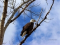 Bald Eagle Watch 2016 03 16 IMG_6530