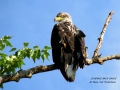 Female Juvenile Bald Eagle 2014 07 23 Trim IMG_1328