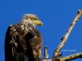 Female Juvenile Bald Eagle Close Up 2014 07 23 TRIM IMG_1335