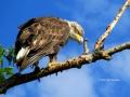 Female Juvenile Bald Eagle Standing 2014 07 23 TRIM IMG_1345