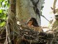 Eaglet Resembles Dinasour 2015 06 10 IMG_4531