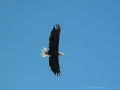 Eagle In Flight Over Columbia Lake BC 2012 09 03 IMG 9865