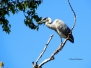 Photo - Herons