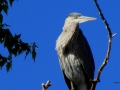 Great Blue Heron - Watches Me in Kayak Below on Columbia Lake As I Click Away 2014 09 21 IMG_2558