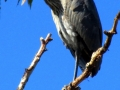 Great Blue Heron - Such A Beauty - And Look At Those Huge Talons 2014 09 21 IMG_2580