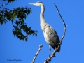 Great Blue Heron - Stretches That Long Neck Upward 2014 09 21 IMG_2566