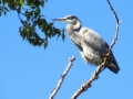 Great Blue Heron - Beautiful Against Clear Blue September Sky 2014 09 21 IMG_2562