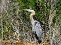 Great Blue Heron Hiding, 2014 06 22, Trm, IMG_1050