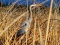 Great Blue Heron In Columbia Lake Reeds 2016 04 03 IMG_7311