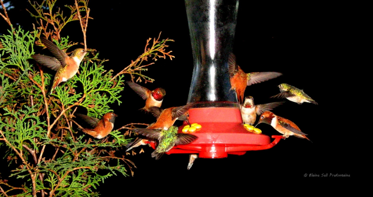 Hummingbirds Galore at Elaine's Cabin Feeder   2010 05 23   IMG_3043