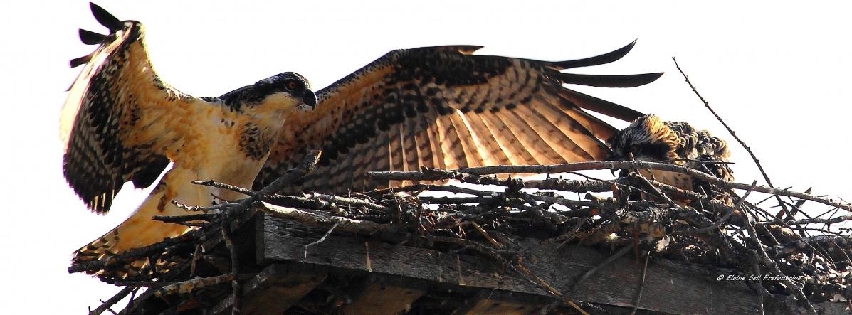 Osprey Flying Lessons, 20130804, ZM 2, IMG_4172