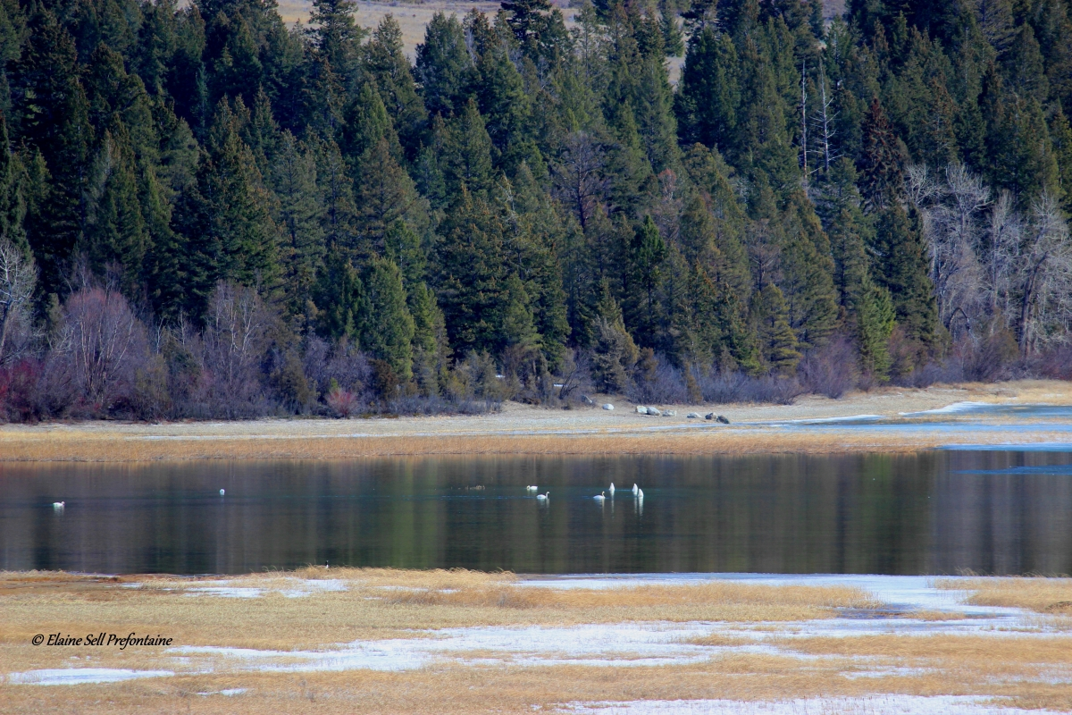 Swans Grace Columbia Lake Provincial Park Waters - 2017 03 20 IMG_9446
