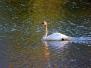 Photo - Swans