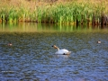 Tundra Swan On Columere Park Pond 2013 08 28 IMG_4597