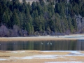 Swans Grace Columbia Lake Provincial Park Waters - 2017 03 20 IMG_9446