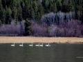 Tundra Swans and Company - Columbia Lake - 2016 03 16 IMG_6516