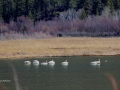 Tundra Swans, Mallard and Heron - Columbia Lake - 2016_03_16 IMG_6500