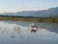Whooper Swan Preening, August 2002, IMG 114-1444