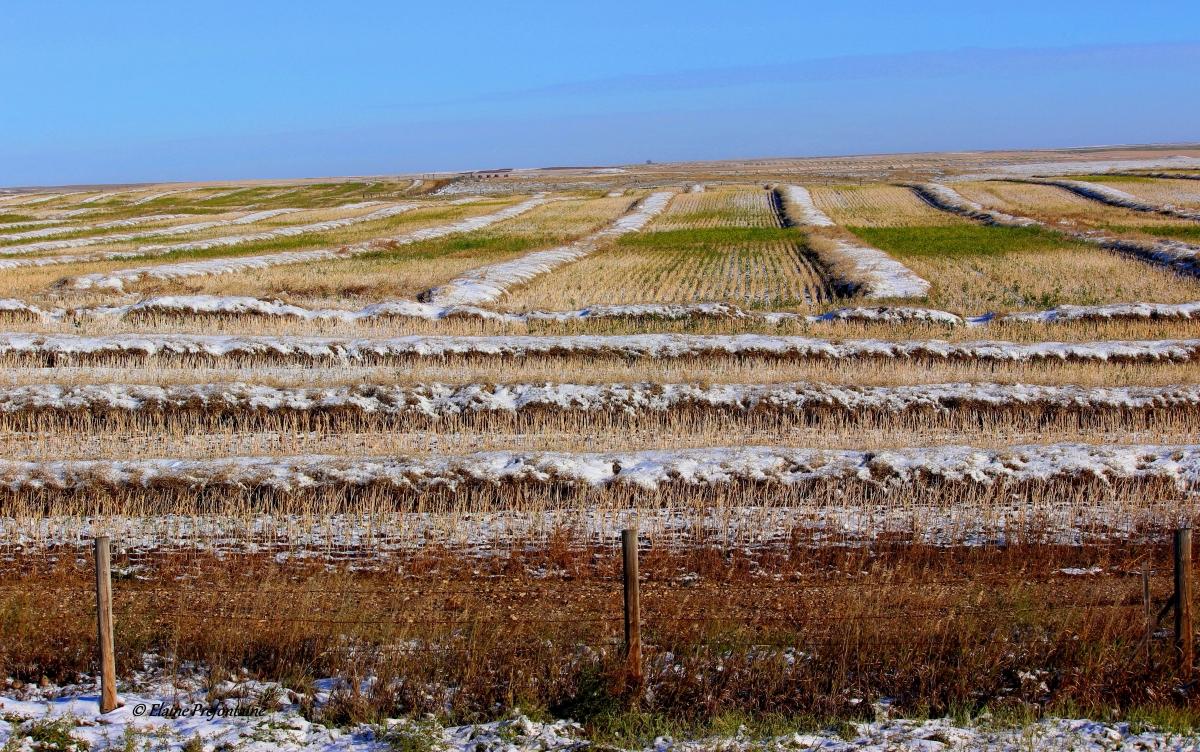 Saskatchewan - Prairie Harvest Under October Snow 2016 10 11 IMG_8207