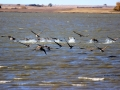 Geese Take Off Prairie Slough South of Moose Jaw Sask 2014 10 14 IMG_5845