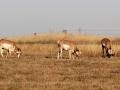 Saskatchewan Antelope Grazing 2013 10 25 Trim IMG_7145