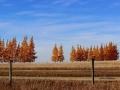 Stunning in Autumn - East of Gull Lake Sask 2014 10 17 IMG_6081