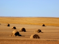 Bales and Fields South of Assiniboia 2014 10 13 IMG 5836.jpg