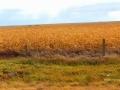 Golden Crops 2015 10 11 IMG_2593