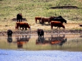 Slough Reflections - Cattle South of Moose Jaw Sask 2016 05 18 IMG_6952