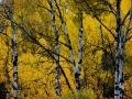 Wasa Birch 2013 10 02 IMG_5846
