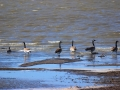 Canada Geese On Windy Sask Slough - Hwy 2 S of Moose Jaw - 2014 10 14 - IMG_5839