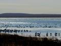 Reed Lake Sask Waterfowl Migration - 2013 10 14 - IMG_6652
