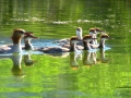 Merganser Family on Columbia Lake BC - IMG_6039