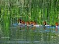 Merganser Family - Reed Reflections - Columbia Lake - IMG_5967