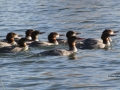 Ten Mergansers Swimming Closely - IMG_5795